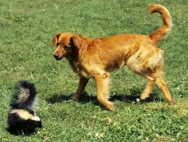 Skunk vs. Dog