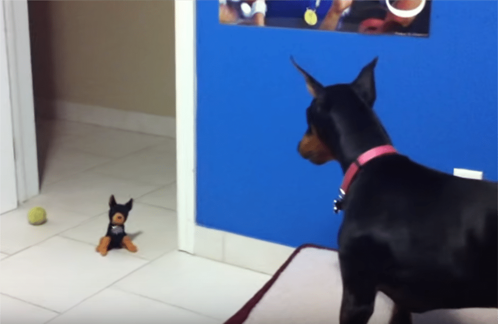 Doberman vs. Toy Doberman