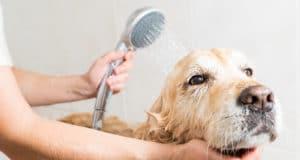 Relaxing bath for a Golden Retriever dog