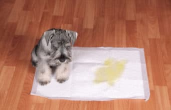 Schnauzer puppy and urine puddle in dog diaper.