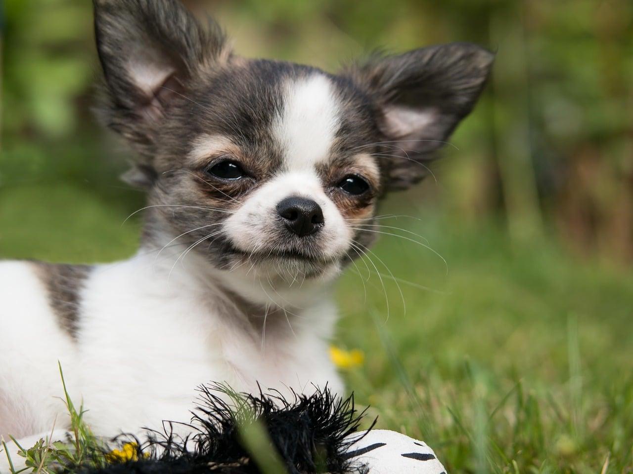 chihuahua, dog, puppy