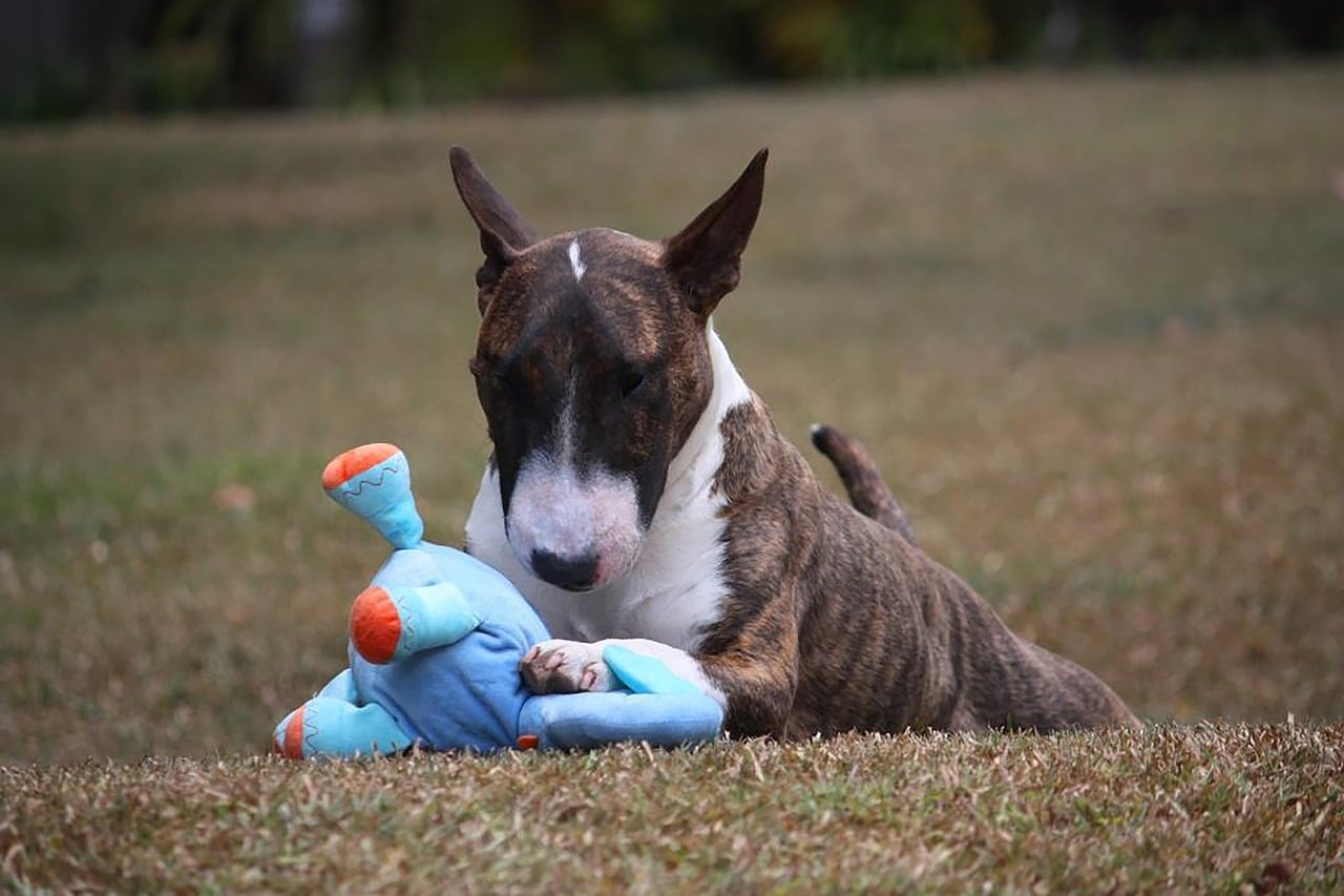 dog, bull terrier, miniature