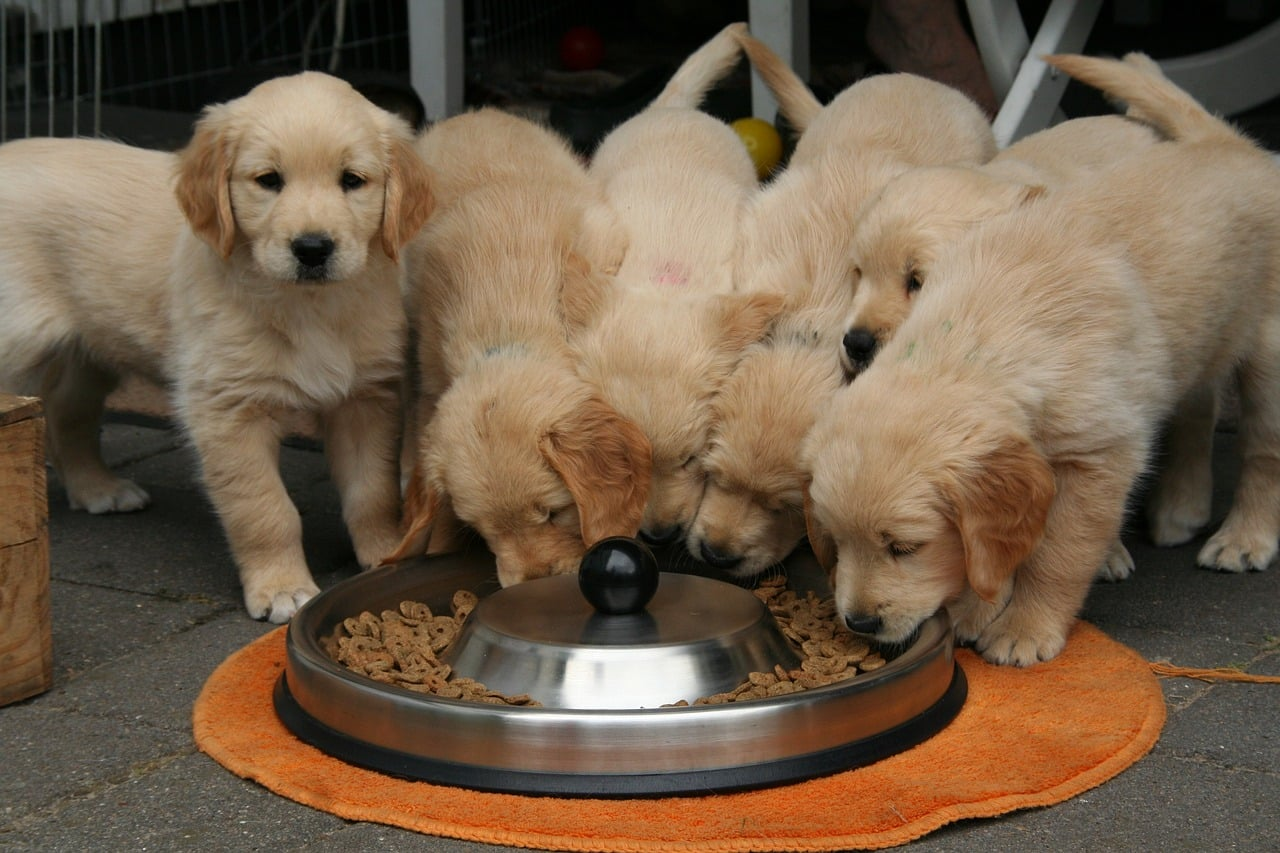 golden retriever puppy, dog puppy while it is eating, cute puppy