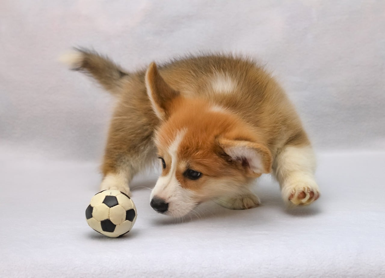 welsh corgi pembroke, sight, corgi