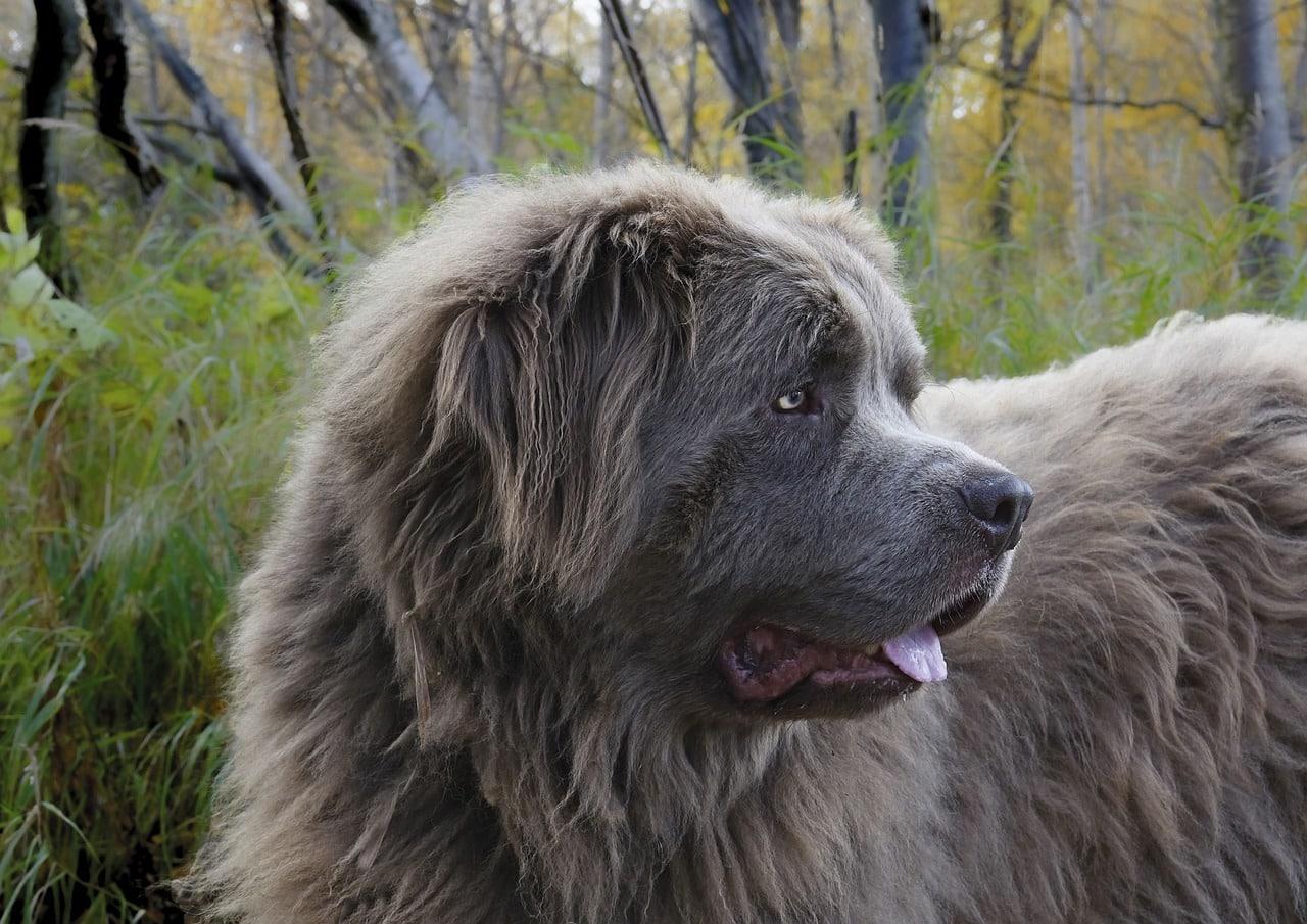 dog, canine, newfoundland