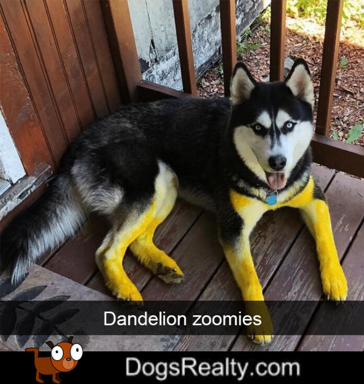 Dog Meme Dandelion