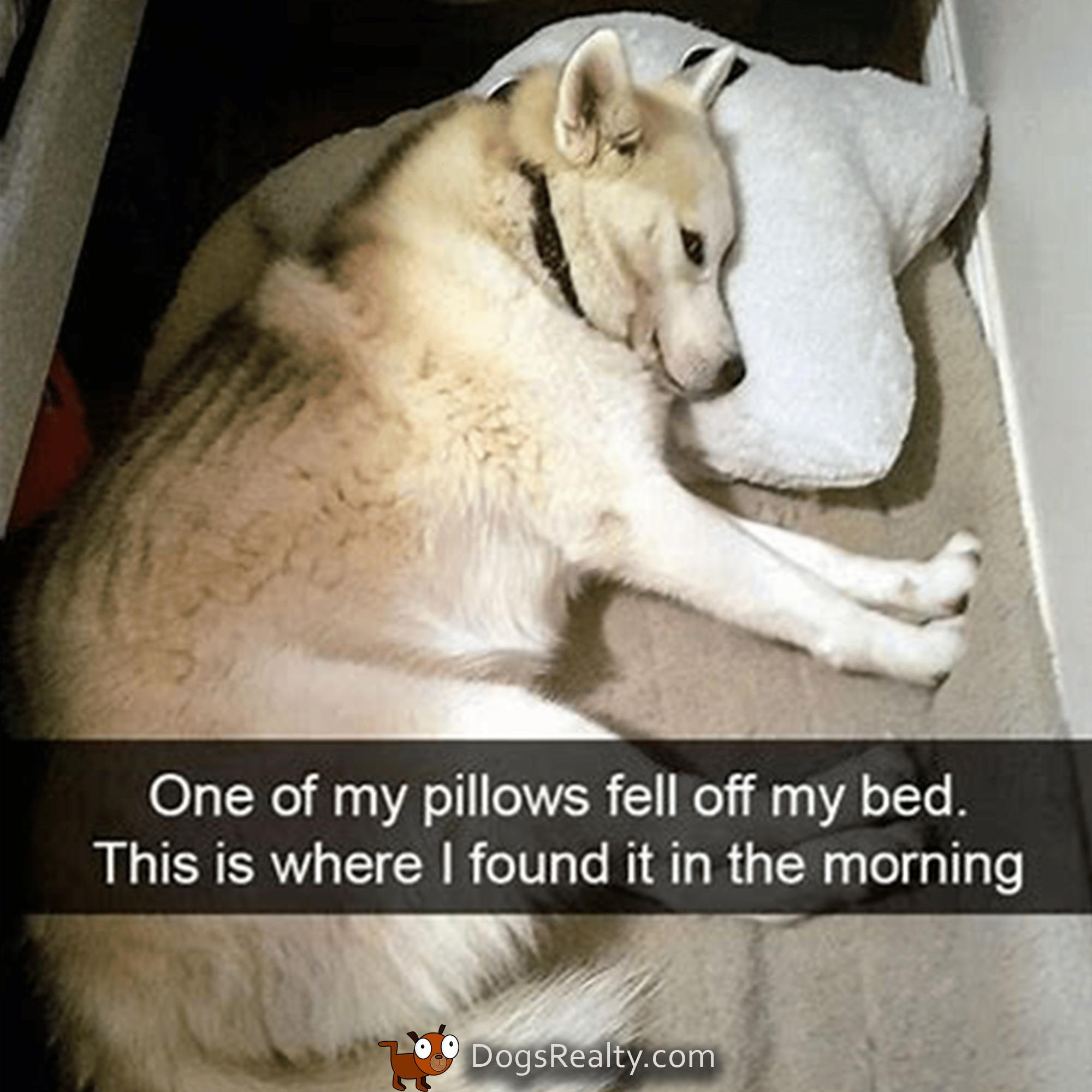 Dog Meme Dog On Pillow